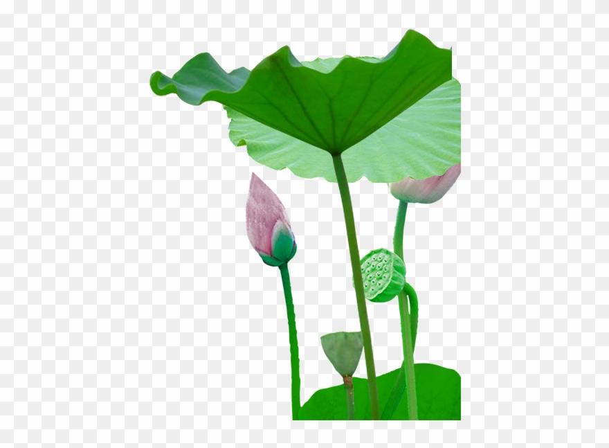 lotus # 4846072
