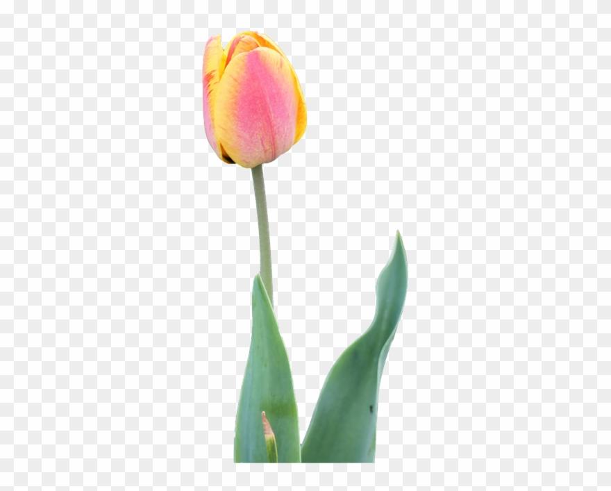 tulip # 4960390