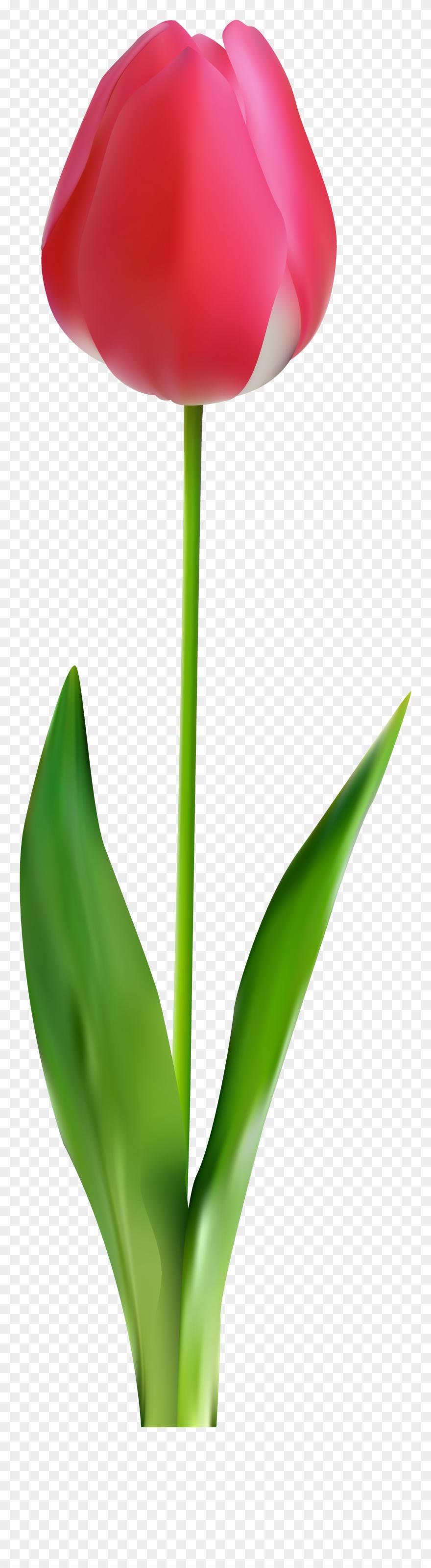 tulip # 4956617