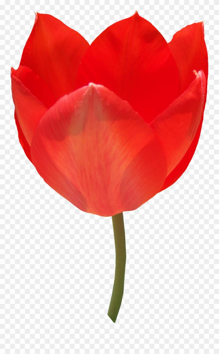 tulip # 4986222