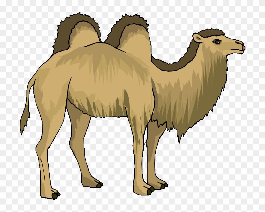camel # 4979846
