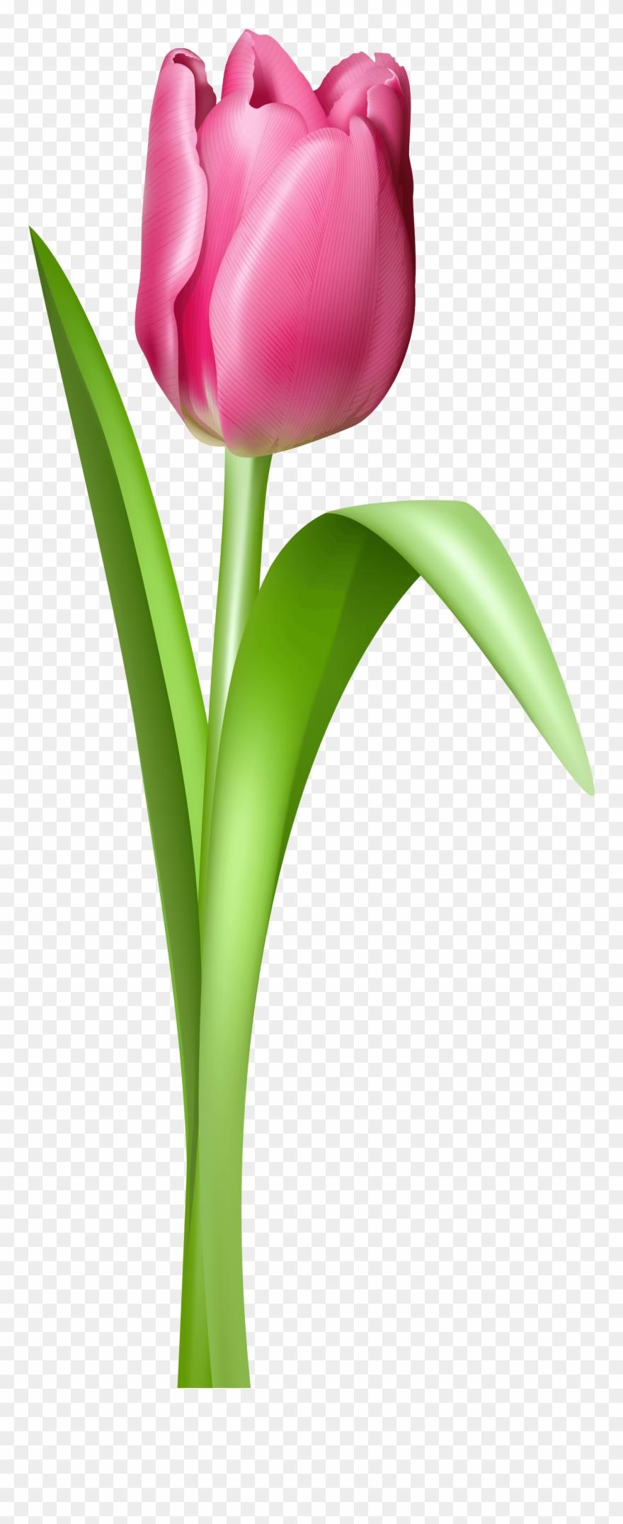 tulip # 5052243