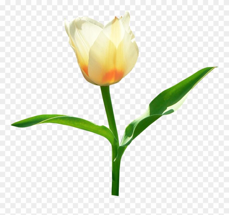tulip # 4889184