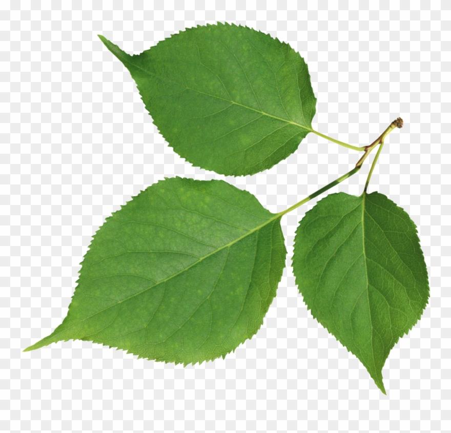 leaf # 4877816