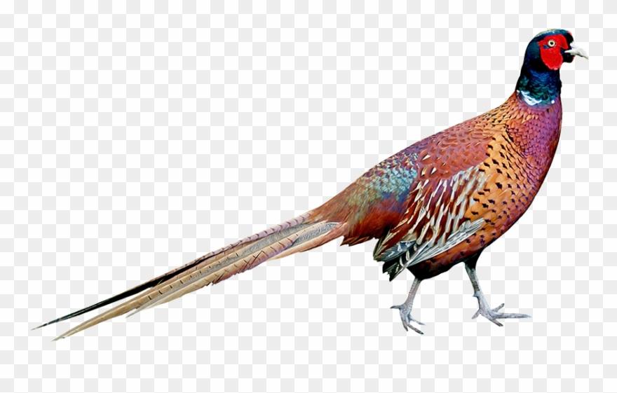 pheasant # 5191883