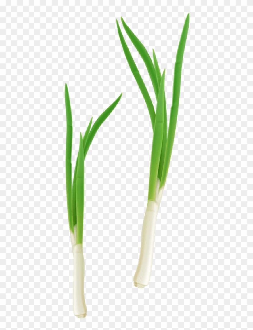 onion # 5120977