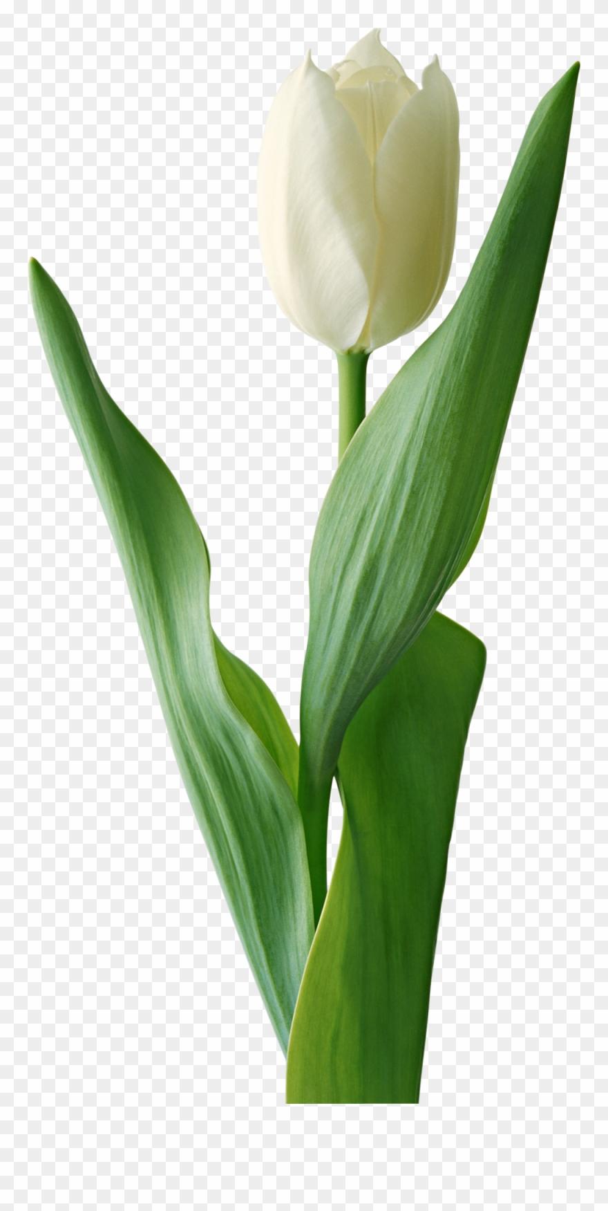tulip # 5083169