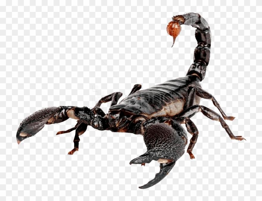 scorpion # 5067034