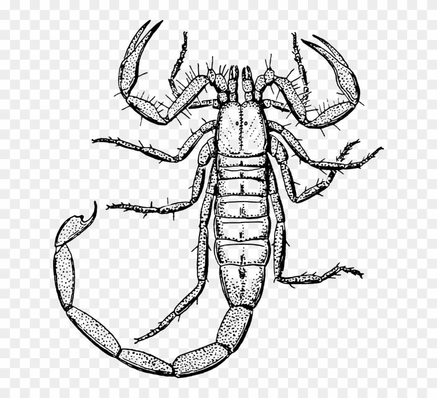 scorpion # 5067036