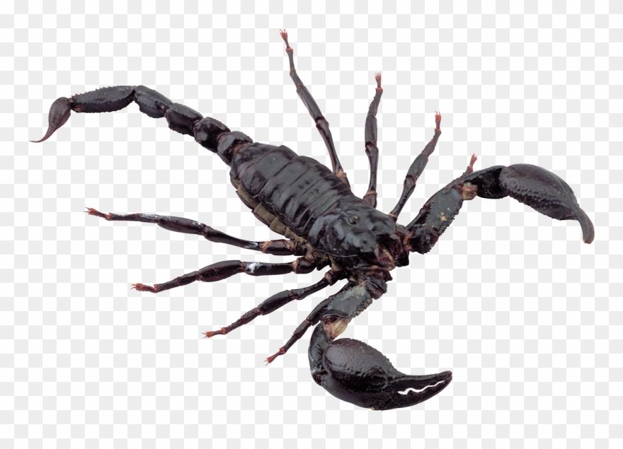 scorpion # 5028868
