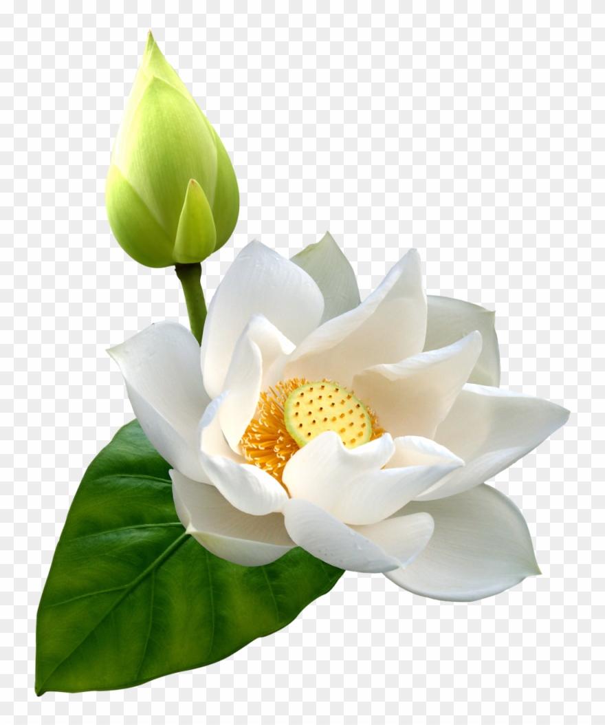 lotus # 4951290