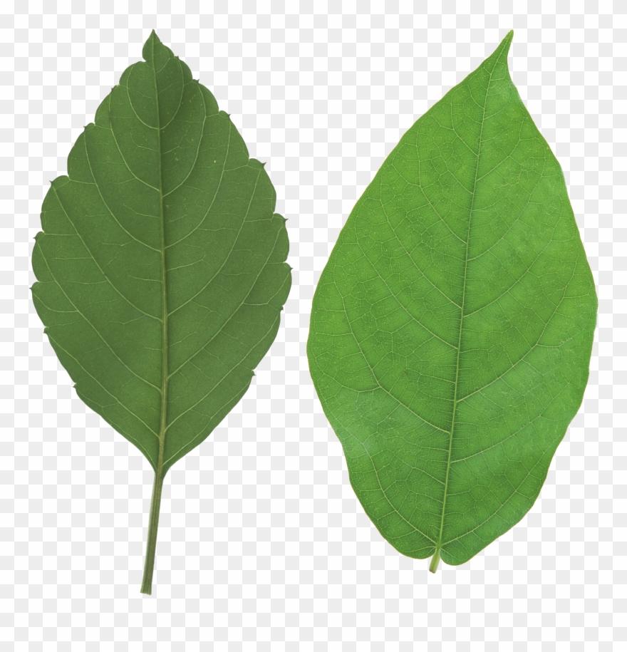 leaf # 4852934